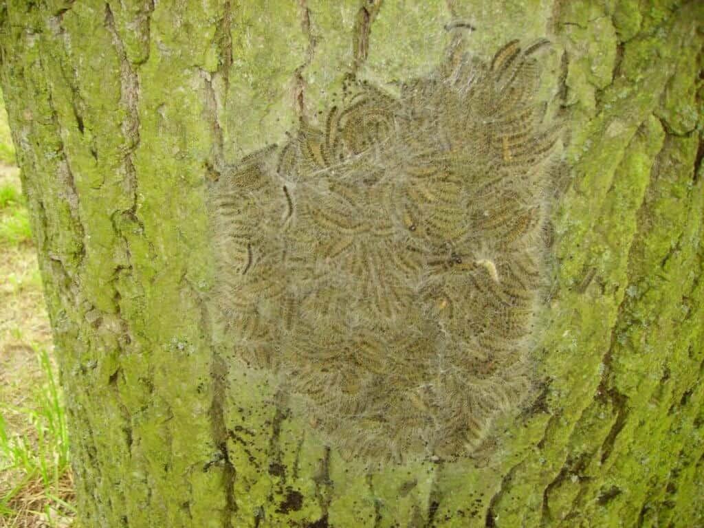 Thaumetopoea processionea caterpillars nest